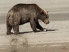 Feeding Brown Bear, Alaska by Glatz Nature Photography