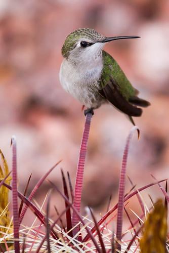 photography hummingbird desert nevada henderson mojavedesert blackchinnedhummingbird mandj98 jmpphotography jamesmarvinphelps femaleblackchinnedhummingbird
