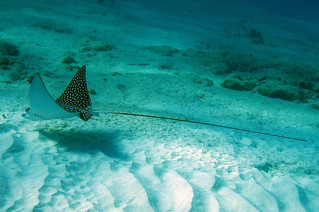 A very long tail, Grand Cayman