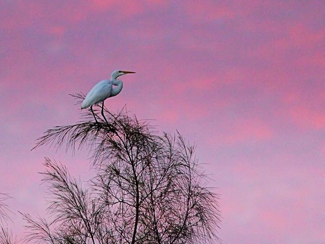 Great Egret before sunrise Corel 20121016