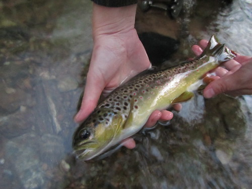 Wild Brown Trout in Baltimore County, Maryland