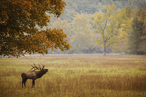 Elk Rut in the Smokies