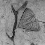 Trilobite pygidium of Dalmanites sp. and a bryozoan