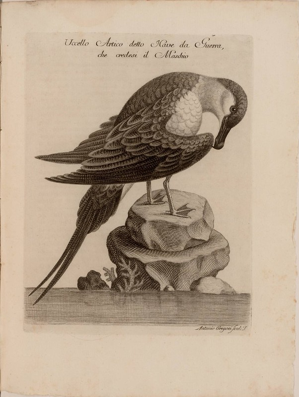 Uccello Artico detto Nave da Guerra, che credesi il Maschio