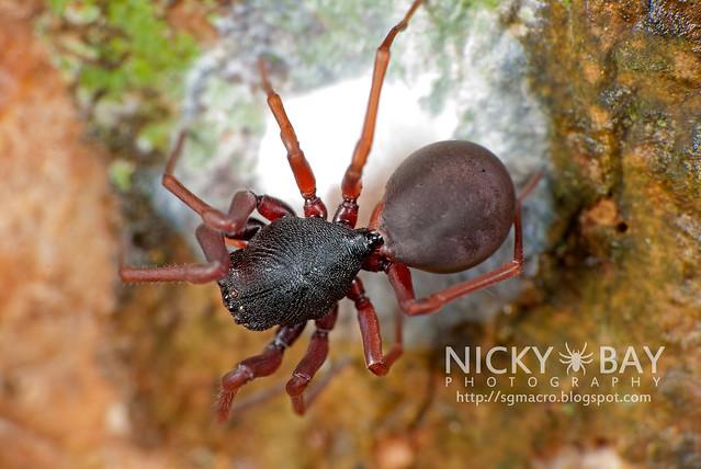 Ant-Mimic Sac Spider (Utivarachna galyaniae) - DSC_1563