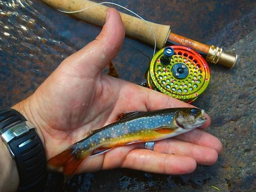 Hocevar Brook trout