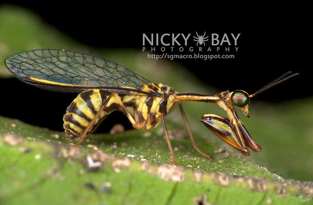 Mantisfly (Mantispidae) - DSC_9688