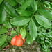 Small photo of Ackee fruit