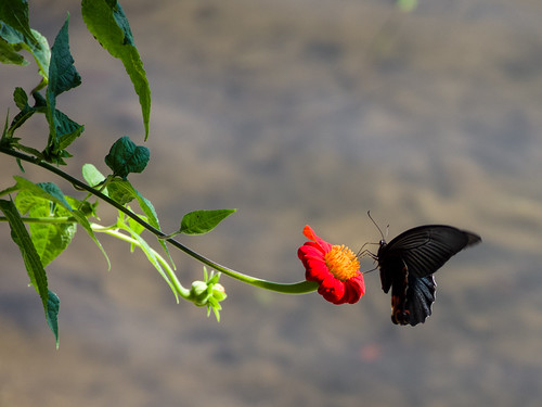 Butterfly in Nepal