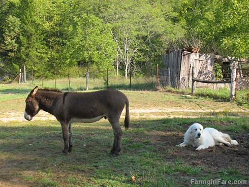Daisy on donkey guard dog duty (17) - FarmgirlFare.com