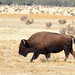 Small photo of American Bison, Buffalo
