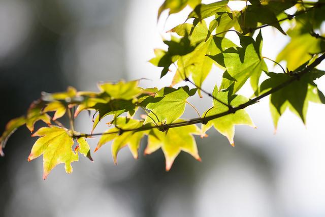 Japanese Maple (Acer palmatum cv. Utsusemi)