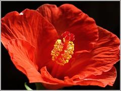 P1010216 Hibiscus
