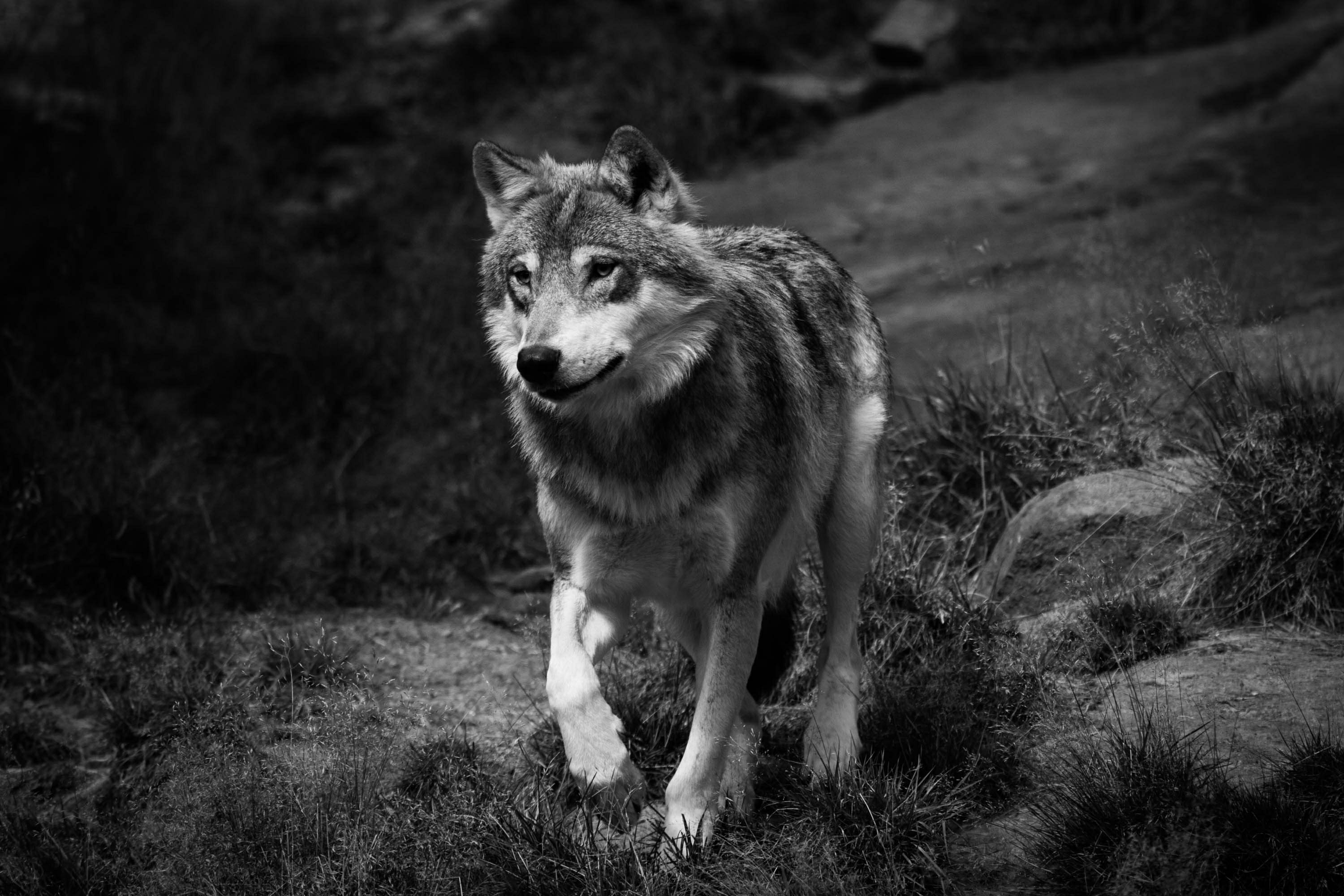 Wolf Photography I'll Be Standing *Wolf...