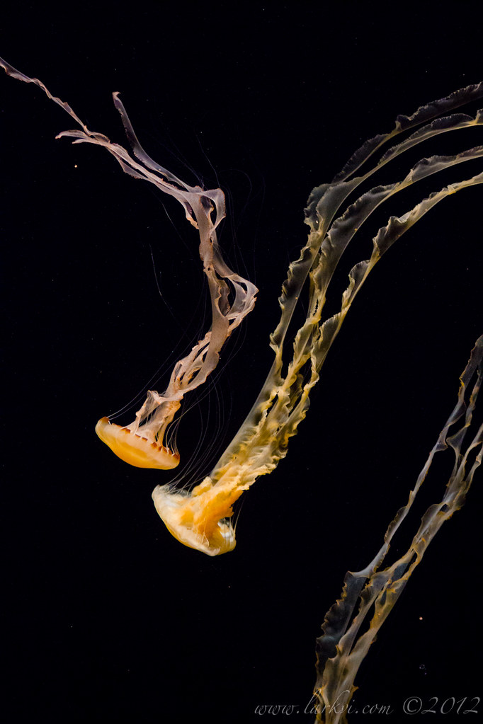 Jellyfish #1, Monterey Bay Aquarium, 2013