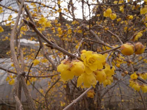 蝋梅の花@明日香村八釣-09