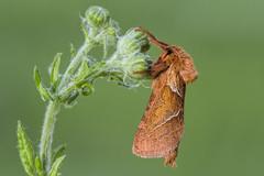 HolderOrange Swift Moth 2 My Garden Aug 2016