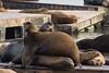 California Trip - June 2016 - Pier 39 Sea Lions
