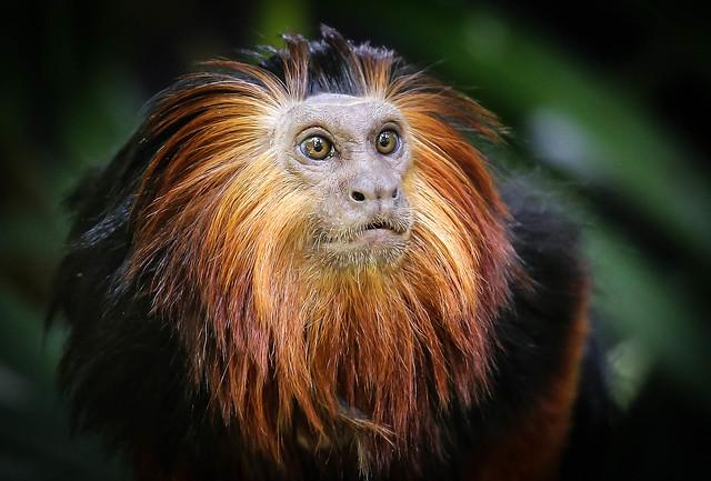 Golden-headed Lion Tamarin Monkey