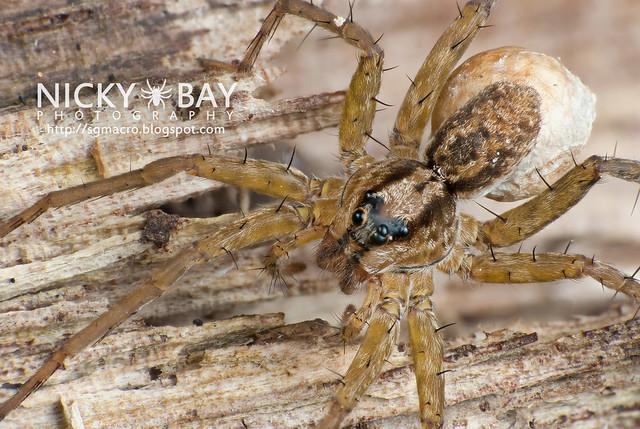Wolf Spider (Lycosidae) - DSC_9261