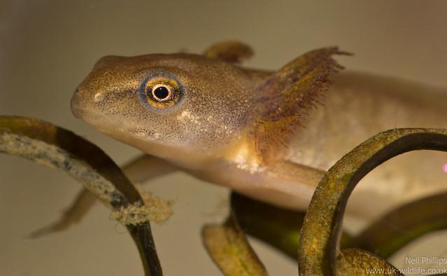 smooth newt tadpole 3