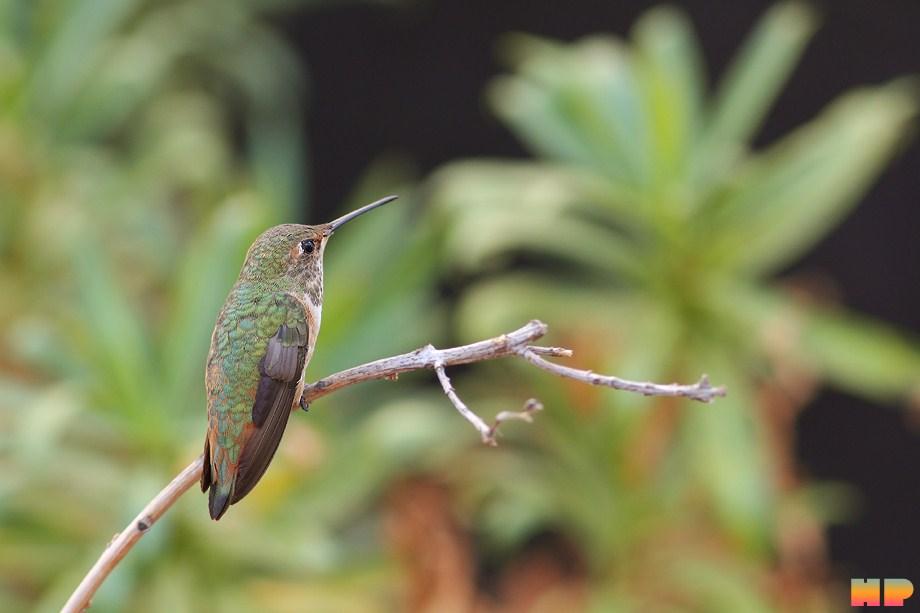Allen's Hummingbird 101112-6