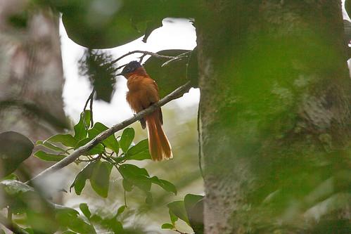 Madagascar Paradise-Flycatcher (Terpsiphone mutata singetra)