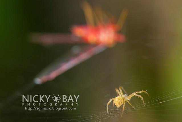 Juvenile Argiope sp. about to attack a captured Derbid Planthopper (Derbidae) - DSC_6555