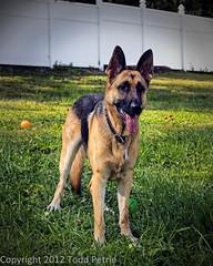 dog breed(1.0), german shepherd dog(1.0), animal(1.0), dog(1.0), pet(1.0), mammal(1.0), belgian shepherd malinois(1.0),