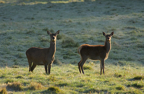 Backlit Deer Hinds by Paul Miguel