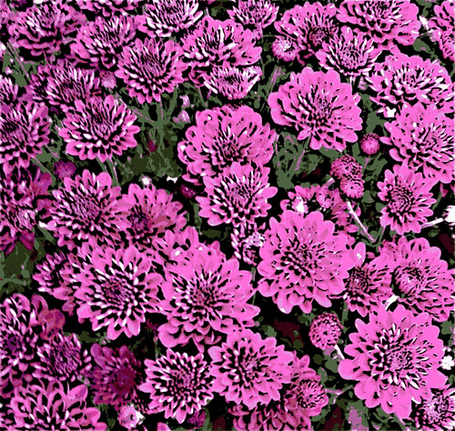 Pink Mums (Digital Woodcut) by randubnick