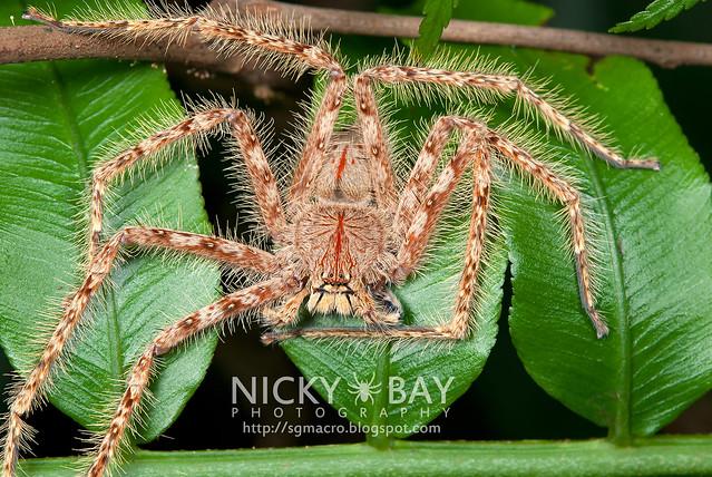 Huntsman Spider (Sparassidae) - DSC_5892