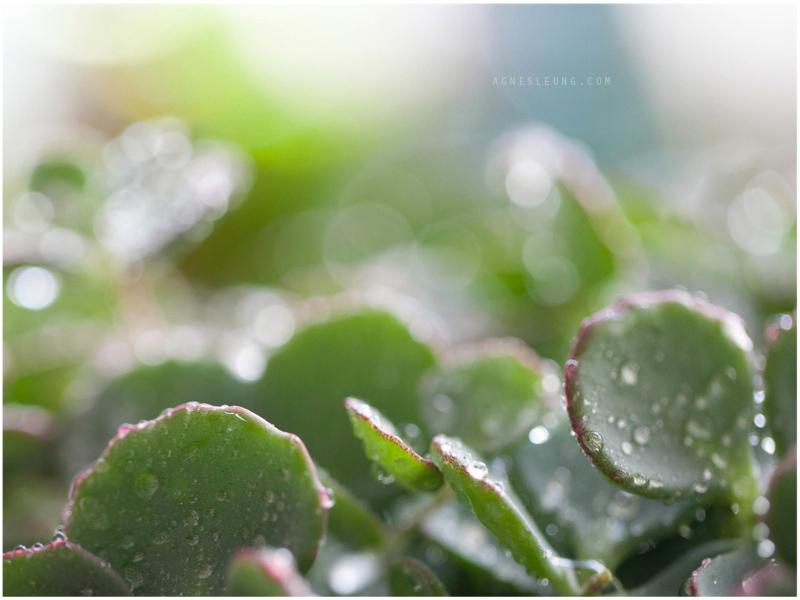 succulent-s10