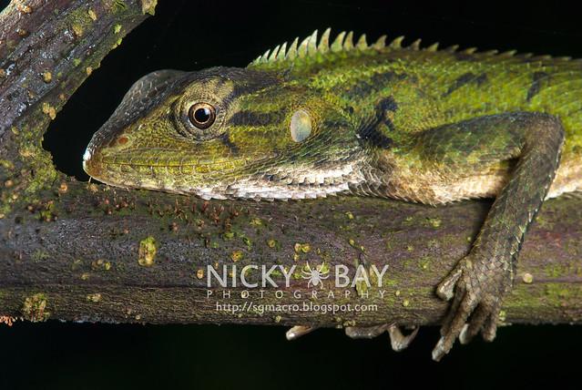 Lizard - DSC_5171