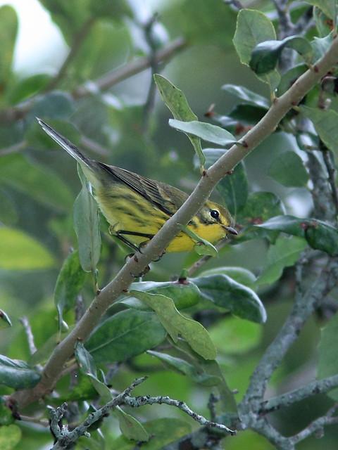 Prairie Warbler 20121018