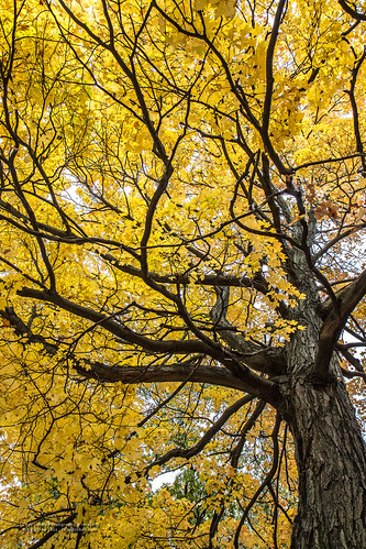 tree fall nature colors leaves yellow maple october maryland bark fractal limbs lavale alleganycounty canonefs1755mm28isusm canoneos7d