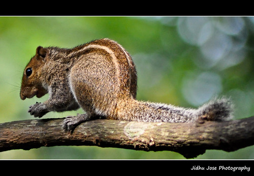 Squirrel by Jidhu Jose
