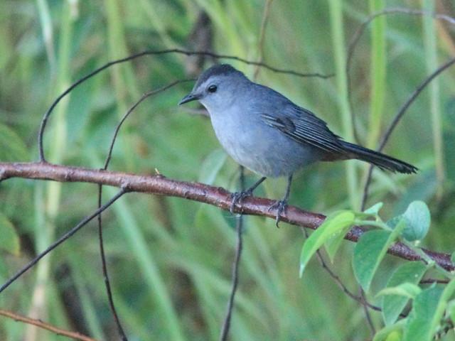 Gray Catbird 20121020