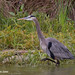 IMG_4415   Great Blue Heron