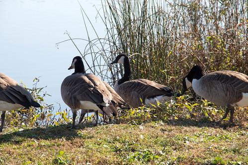 geese pond goose canadagoose sayrepa