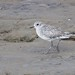 37632  Grey Plover at Thornham