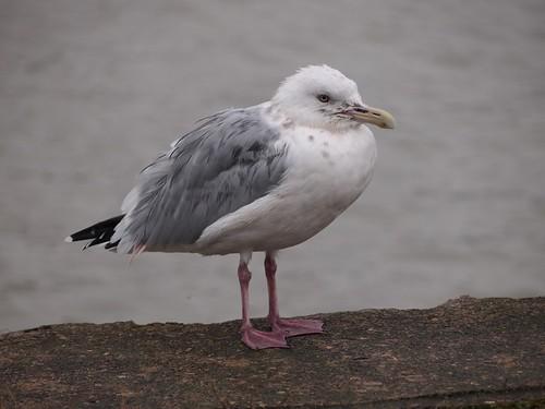 Port Stanley gull