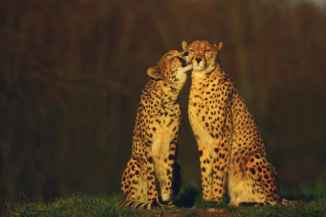 Cheetahs In Love By John O Neil,l Waterford City, Ireland