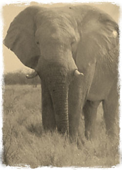 Photo of African Elephant