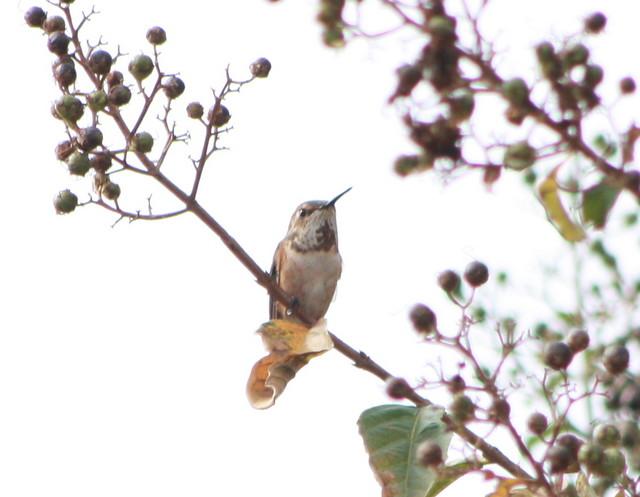 Rufous Hummingbird, Kent County, Delaware
