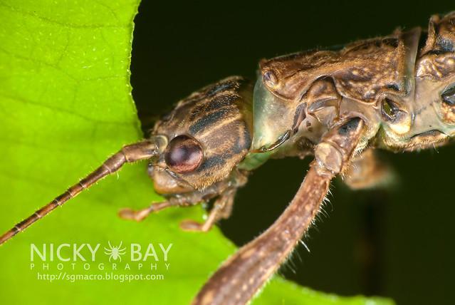 Stick Insect (Phasmatodea) - DSC_0371