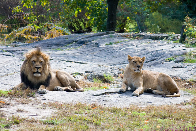 Lions, Bronx Zoo