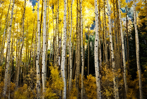autumn trees fall yellow colorado co aspens meullerstatepark