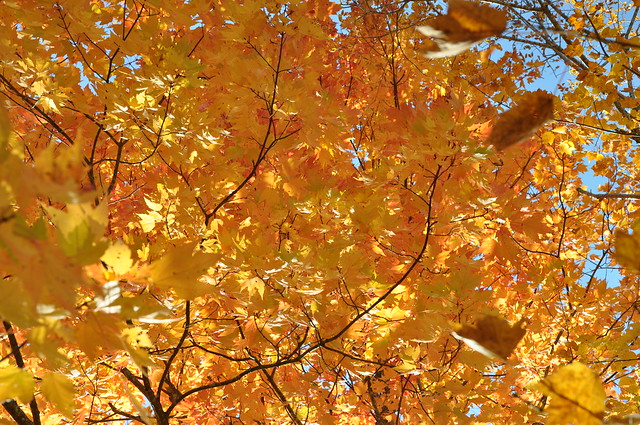 Leaves the Color of Sunshine Smoky Mountain National Park