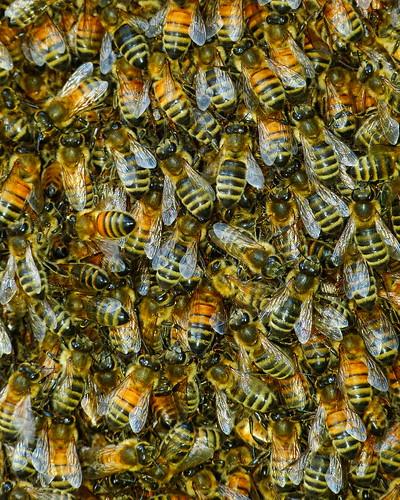 [フリー画像素材] 動物 2, 昆虫, 蜂・ハチ, ミツバチ, 動物 - 群れ ID:201211030400